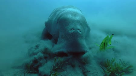 cow eats : Close-up, Sea Cow eats sea grass on seabed. Dugong Dugon, Red Sea, Abu Dabab, Marsa Alam, Egypt, Africa
