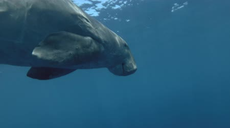 sea cow : Close-up, Sea Cow swim under water. Dugong Dugon, Red Sea, Abu Dabab, Marsa Alam, Egypt, Africa Stock Footage
