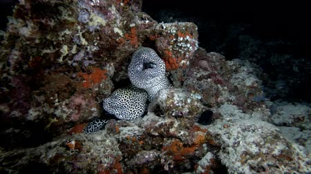 леопард : Two Moray Eels on the coral reef in the nigth. Honeycomb Moray, Gymnothorax favagineus, Indian Ocean, Maldives Стоковые видеозаписи