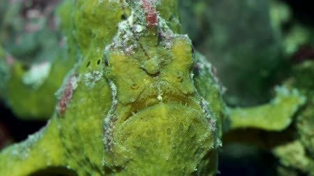 melanesia : Yellow Commersons Frogfish frontal portrait. Giant Frogfish, Riesen Anglerfisch or Big Angler (Antennarius commerson). Closeup, underwater shot