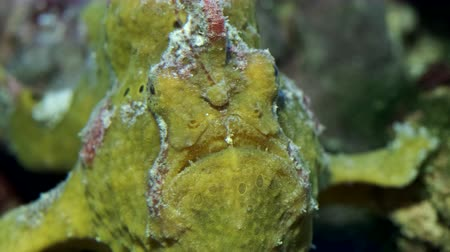 anfíbio : Yellow Commersons Frogfish frontal portrait. Giant Frogfish, Riesen Anglerfisch or Big Angler (Antennarius commerson). Closeup, underwater shot