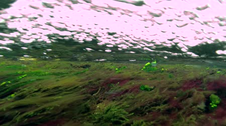 algler : Red and green algae in a turbulent flow of water to shallow. Underwater view, 4K, 60fps