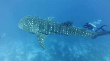 tofu : Scuba divers swim with whale shark - Rhincodon typus Indian Ocean, Maldives