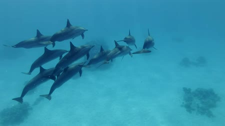 dolphin : Small group of dolphins swim in the blue water. Spinner dolphins (Stenella longirostris), Underwater shot, follow shot, escort. Red Sea, Sataya Reef (Dolphin House) Marsa Alam, Egypt, Africa
