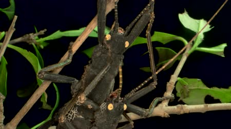 accouplement : Insects mating of Golden-Eyed Stick Insect (Peruphasma schultei) on black background. Macro video.
