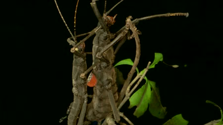 phasmida : Insects mating of Golden-Eyed Stick Insect (Peruphasma schultei) on black background. Macro video.