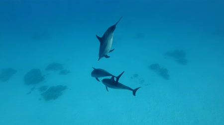 presente : Three juvenile dolphins playing under water in blue water. Spinner Dolphin (Stenella longirostris), Underwater shot, Red Sea, Sataya Reef (Dolphin House) Marsa Alam, Egypt, Africa Stock Footage