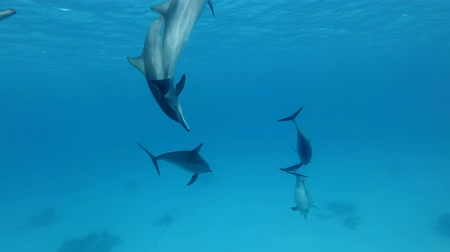 chování : Group of young dolphins playing water in blue water. Slow motion, underwater shot. Red Sea, Sataya Reef (Dolphin House) Marsa Alam, Egypt, Africa