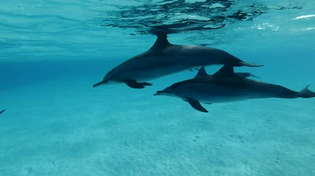 delfín : Family of dolphins swim slowly under sufrace of blue water. Slow motion, Closeup, Underwater shot. Spinner Dolphin (Stenella longirostris), Red Sea, Sataya Reef (Dolphin House) Marsa Alam, Egypt, Africa