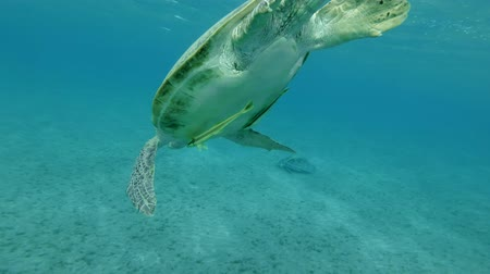 zeeschildpad : Groene zeeschildpad (Chelonia mydas) en Remorafish. Onderwater schot, lage hoek schot, close-up, achtergrondverlichting. Rode Zee, Abu Dabab, Marsa Alam, Egypte, Afrika Stockvideo