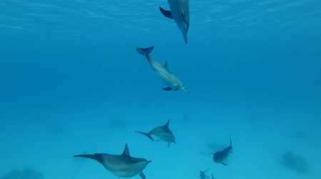 Коста : Group of juvenile dolphins playing under water in blue water. Spinner Dolphin (Stenella longirostris), Underwater shot, Red Sea, Sataya Reef (Dolphin House) Marsa Alam, Egypt, Africa Стоковые видеозаписи