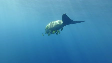 mammalia : Sea Cow (Dugong dugon) Golden Trevally (Gnathanodon speciosus) swim under the water. Underwater shot, Follow shot, behind. Red Sea, Hermes Bay, Abu Dabab, Marsa Alam, Egypt Stock Footage
