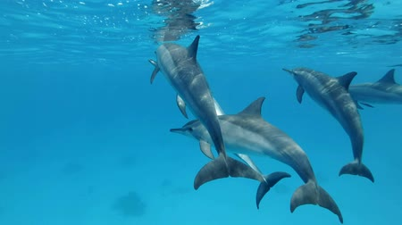 dwerg : Slow motion, een groep dolfijnen die onder water spelen. Spinner Dolphin (Stenella longirostris) Close-up, onderwater schot. Rode Zee, Sataya Reef (Dolphin House) Marsa Alam, Egypte, Afrika