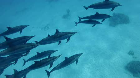 havaiano : A pod of dolphins swim in the blue water. Spinner dolphins (Stenella longirostris), Underwater shot, rapprochement and support, top view. Red Sea, Sataya Reef (Dolphin House) Marsa Alam, Egypt, Africa
