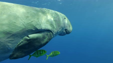 mammalia : Sea Cow (Dugong dugon) Golden Trevally (Gnathanodon speciosus) Underwater shot, Closeup. Red Sea, Hermes Bay, Abu Dabab, Marsa Alam, Egypt Stock Footage