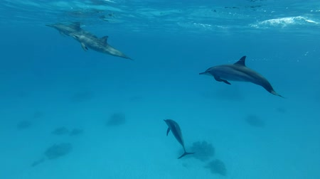 red bellied : Group of juvenile dolphins playing under water in blue water. Spinner Dolphin (Stenella longirostris), Underwater shot, Red Sea, Sataya Reef (Dolphin House) Marsa Alam, Egypt, Africa Stock Footage