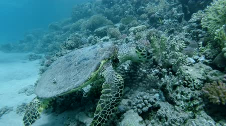zeeschildpad : Sea Turtle sits on a coral reef and eats soft coral. Hawksbill Sea Turtle or Bissa (Eretmochelys imbricata) Underwater shot, Closeup. Red Sea, Abu Dabab, Marsa Alam, Egypt, Africa Stockvideo