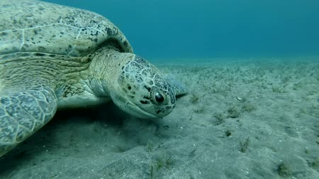 mastigação : Portrait of Great Sea Turtle eats green seagrass swaying in current. Green Sea Turtle (Chelonia mydas) Underwater shot, Closeup. Red Sea, Abu Dabab, Marsa Alam, Egypt Stock Footage