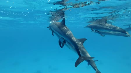 yunus : A pod of dolphins playing under water in a blue water. Slow motion, Closeup, Underwater shot. Spinner Dolphin (Stenella longirostris) in Red Sea, Sataya Reef (Dolphin House) Marsa Alam, Egypt, Africa Stok Video