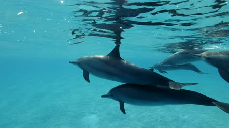 dolphin : Group of dolphins slowly swims in blue water. Slow motion, Closeup, Underwater shot. Spinner Dolphin (Stenella longirostris) in Red Sea, Sataya Reef (Dolphin House) Marsa Alam, Egypt, Africa