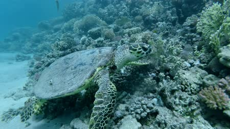 mastigação : Slow motion, Sea Turtle sits on a coral reef and eats soft coral. Hawksbill Sea Turtle or Bissa (Eretmochelys imbricata) Underwater shot, Closeup. Red Sea, Abu Dabab, Marsa Alam, Egypt, Africa Stock Footage