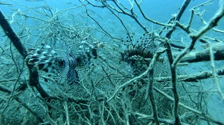 morina : Two Red Lionfish Fish in the branches of mangroves. Underwater shot, Closeup. Red Sea, Marsa Alam, Egypt, Africa Stok Video