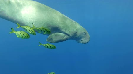 mammalia : Slow motion, Sea Cow (Gnathanodon speciosus) Underwater shot, Closeup, Follow shot. Red Sea, Hermes Bay, Abu Dabab, Marsa Alam, Egypt