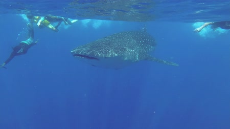 tofu : Group tourists swims behind the Whale Shark. Indian Ocean, Hikkaduwa, Sri Lanka Stock Footage