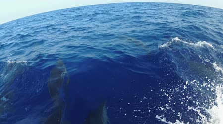 spinner dolphin : A pod of dolphins swims before a speedboat - Sri Lanka