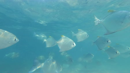 pisces : School of Silver Moonfish - Indian Ocean, Sri Lanka, South Asia - Monodactylus argenteus swim under the blue sky Stock Footage