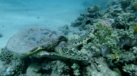 mastigação : Sea Turtle sits on a coral reef and eats soft coral. Hawksbill Sea Turtle or Bissa (Eretmochelys imbricata) Underwater shot, Top view, Closeup. Red Sea, Abu Dabab, Marsa Alam, Egypt, Africa