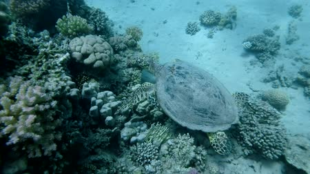 reptilia : Sea Turtle swim near top coral reef under surface of water. Hawksbill Sea Turtle or Bissa (Eretmochelys imbricata) Underwater shot, Top view. Red Sea, Abu Dabab, Marsa Alam, Egypt, Africa Stock Footage