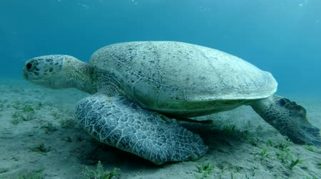 espetacular : Great Sea Turtle eats green sea grass swaying in current. Green Sea Turtle (Chelonia mydas) Underwater shot, Closeup. Red Sea, Abu Dabab, Marsa Alam, Egypt Stock Footage