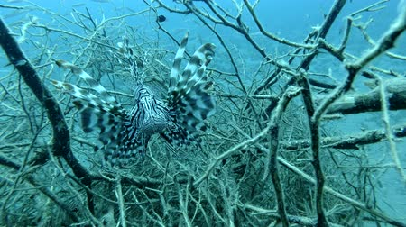 bush fire : Red Lionfish fish in the branches of mangroves. Underwater shot, Closeup. Red Sea, Marsa Alam, Egypt, Africa Stock Footage