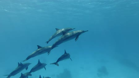 red bellied : Group of young dolphins slowly rising to the surface of blue water. Spinner dolphins (Stenella longirostris) Underwater shot, closeup. Red Sea, Sataya Reef (Dolphin House) Marsa Alam, Egypt, Africa