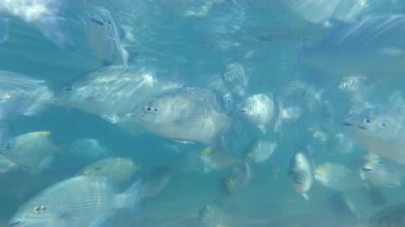 natal : School of Silver Moonfish - Indian Ocean, Sri Lanka, South Asia - Monodactylus argenteus