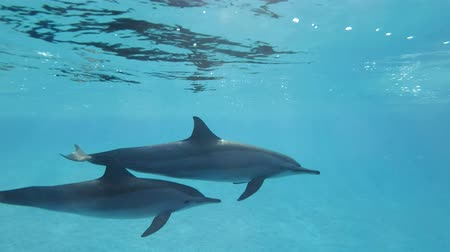 yunus : Two dolphins, a mother and a juvenile dolphin. Slow motion, Closeup, Underwater shot. Spinner Dolphin (Stenella longirostris) in Red Sea, Sataya Reef (Dolphin House) Marsa Alam, Egypt, Africa