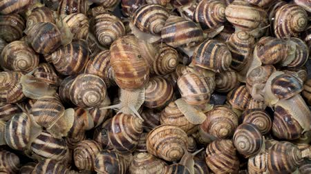 caracol : Active small snails on the farm during feeding. Background of live snails. Top view? 4K  60fps