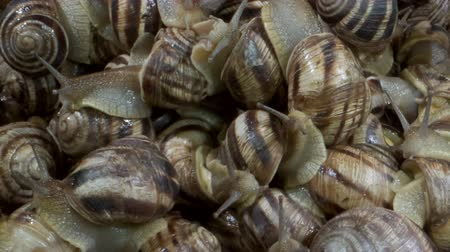 grãos : Camera rotation 360 degrees - A group of food snails. Background of live wet snails. Extreme close up, Top view? 4K  60fps