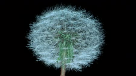 camera rotation : Fluffy dandelion on black background, isolated. Camera rotation 360 degrees? 4K  60fps