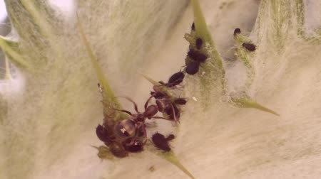 aphidoidea : Red anthases away from the spear of thistle. Slow motion. Macro 1: 1.