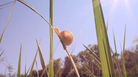 pozemní : A small snail is crawling on a sunny day. Low-angle shot, Backlight, Close-up, Full HD - 60fps