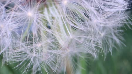 kırılganlık : Movement upward to the ripe fruits of Dandelion flower. Macro shot, Camera moves upwards, Full HD - 60fps Stok Video