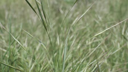 ervas daninhas : Close-up of Barren brome, Natural background, Full HD - 60fps