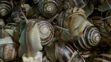pozemní : Active small snails on the farm during feeding. Background of live snails. Super macro 1: 1, Top view? 4K  60fps