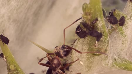 dárda : Red barbed ant thistle milking aphids on a sheet of spear. Super macro 3: 1. 4K  60fps