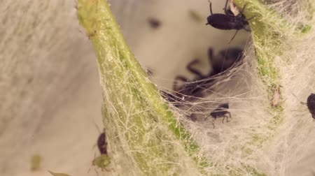 aphidoidea : Colony aphids thistle Super macro 3: 1. 4K  60fps