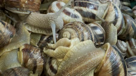 banded : Background of live snails. Snail in the center is in camera focus. Super macro 2: 1, Top view? 4K  60fps