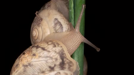 caracol : Three snails sit on a green leaf in the night. Black background, isolated. Macro 1: 1? 4K  60fps Stock Footage