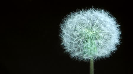camera rotation : Detail of past bloom dandelion isolated on black background. Camera rotation 360 degrees? 4K  60fps